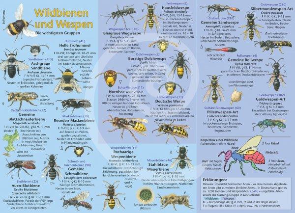 Bestimmungshilfe – Wildbienen und Wespen