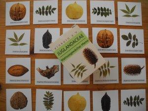 "Walnussgewächse-Memory ""Juglandaceae"""